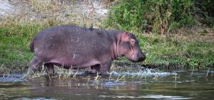 Hippo landscape